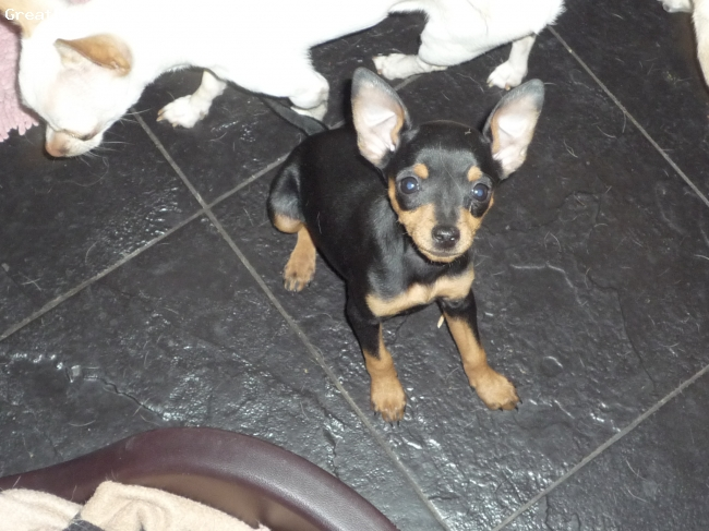 Miniature Pinscher, 14 weeks, Black and Tan, Min pin  looking cute .