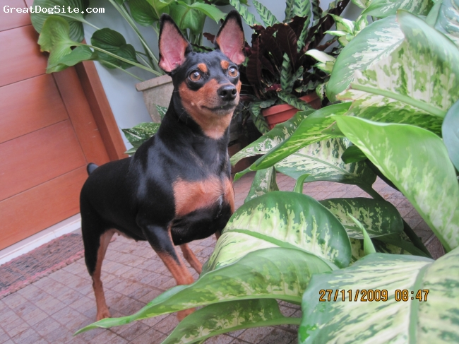 Miniature Pinscher, 18 months, black and brown, Bonny learn very fast, loves blanket and pillow, she loves fruits and vegetables very much.