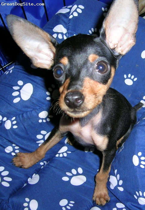 Miniature Pinscher, 4, black and tan, Cuddles cheek to cheek, neck to neck