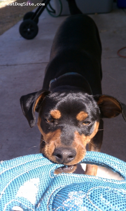 Miniature Pinscher, 1, Black & Tan, That's mine!