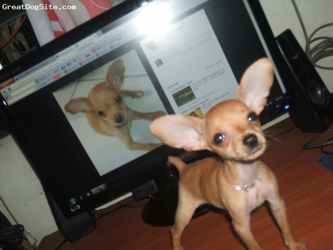 Miniature Pinscher, 5 months, red, he's cute, active and lovable...