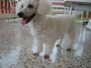 Miniature Poodle, 4 years, White