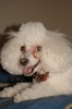 Miniature Poodle, 2 yrs, white