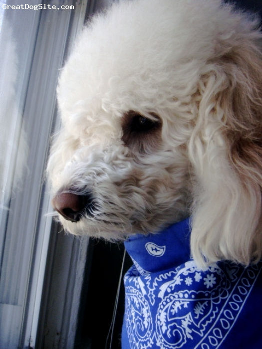 Miniature Poodle, 2 yrs., Champaign, Lookin Through The Window...