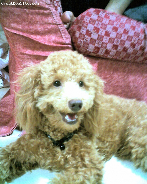 Miniature Poodle, 1 yrs, light brown, coco after grooming....