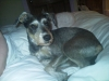 Miniature Schnaupin, 20months, My beautiful min schnaupin! The love of