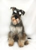 Miniature Schnauzer, 1, salt and pepper