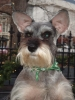 Miniature Schnauzer, 6 yrs., Salt and Pepper