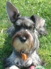 Miniature Schnauzer, 3 yrs., Salt and Pepper
