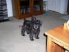 Miniature Schnauzer, 4 months 3 days, Black