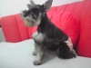 Miniature Schnauzer, 1, PEPPER/BLACK
