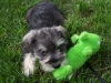 Miniature Schnauzer, 14 weeks, black and white