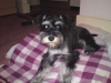 Miniature Schnauzer, 1, Black and silver