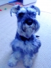 Miniature Schnauzer, 12months, salt and pepper