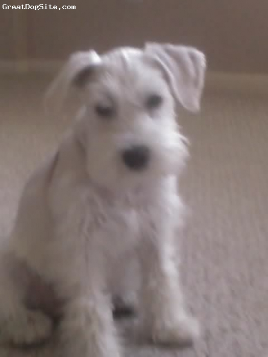 Miniature Schnauzer, 6mths, white, Best and smartest puppy ever!