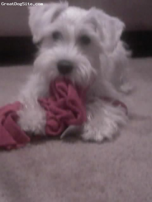 Miniature Schnauzer, 6mths, white, Rare white schnauzer! Beautiful puppy