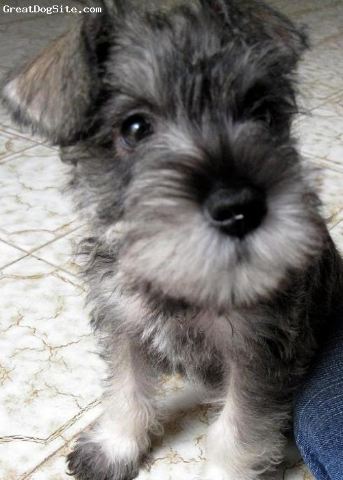 ... salt and pepper, Miniature Schnauzer - Suga - Mini Schnauzer