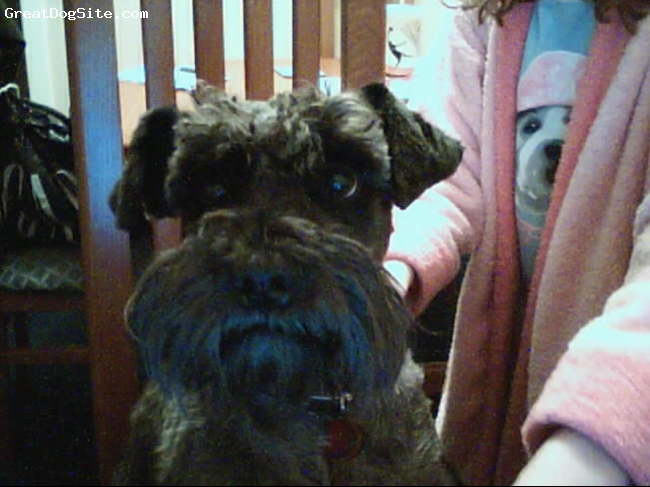 Miniature Schnauzer, 2, Black, He is a soft haired miniature schnauzer and is very loving and so cute.