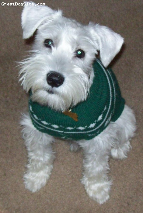 Miniature Schnauzer, 7 months, White, Buddys Holiday Look!
