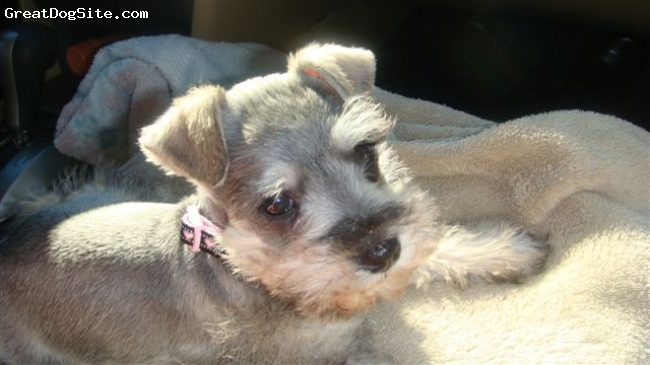 Miniature Schnauzer, 7 weeks, salt & pepper, She is a very fun and loving puppy.  loves to be cuddled and wrapped in her winney the poo blanket when sleepy.