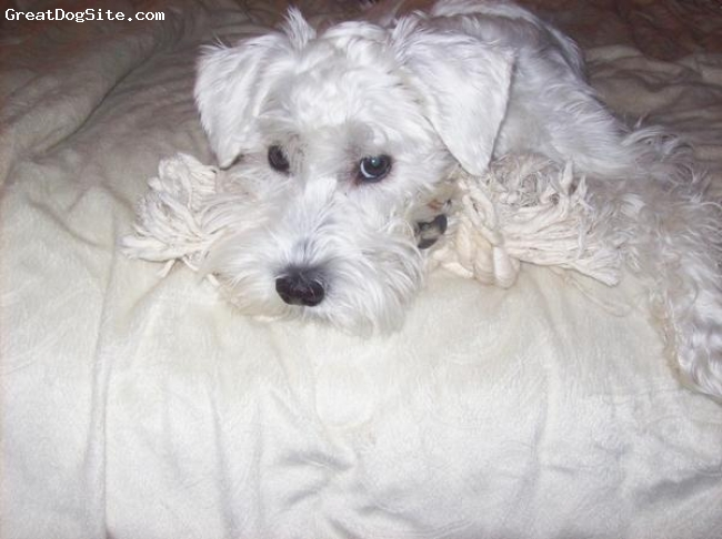 Miniature Schnauzer, 8mths, White, Mischief is his middle name! I love him!