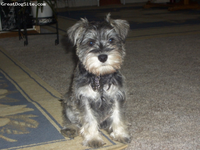 Miniature Schnauzer, 2 Mos +, Salt $ Pepper, New To Our Home.
