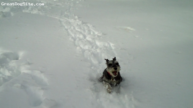 Miniature Schnauzer, 1 yr & 1mos +, Salt & Pepper, He loves playing in the snow.
