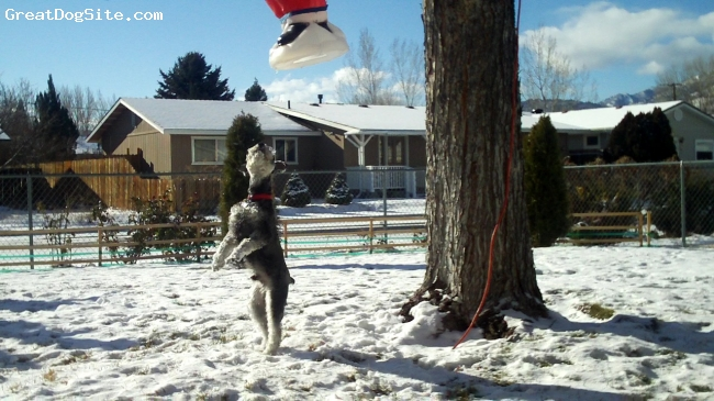 Miniature Schnauzer, 1 yr +, Salt & Pepper, He is trying to reach the Santa Clause that hanged on the tree.