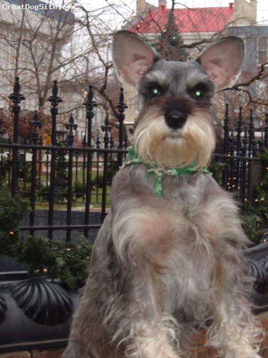 Miniature Schnauzer, 6 yrs., Salt and Pepper, Scena's Christmas Pictures at Fountain Square Park in Bowling Green, KY.