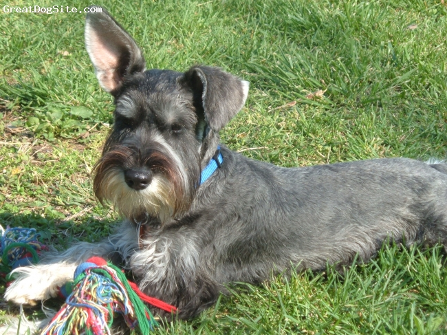 Miniature Schnauzer, 3 yrs., Salt and Pepper, Maddox enjoys the sunshine with his toy.