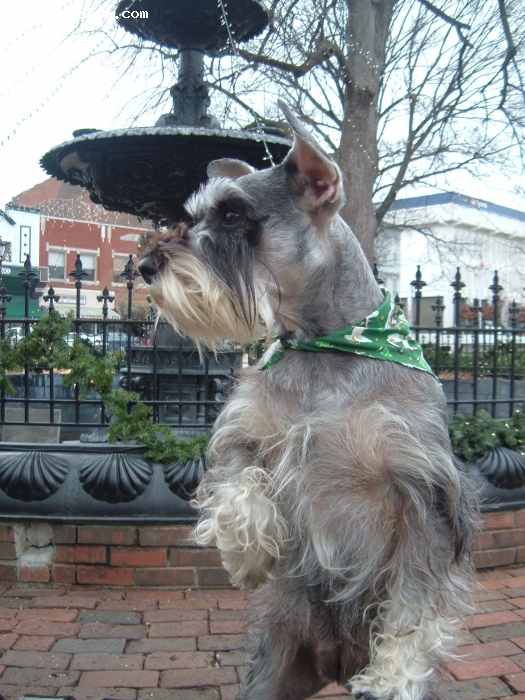 Miniature Schnauzer, 3 yrs., Salt and Pepper, Scena's Christmas Pictures at Fountain Square Park in Bowling Green, KY.