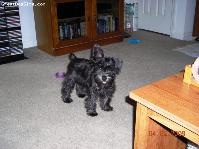 Miniature Schnauzer, 4 months 3 days, Black, Registered Mini Schnauzer, lives in Berea, KY She's black now but will turn silver when older.