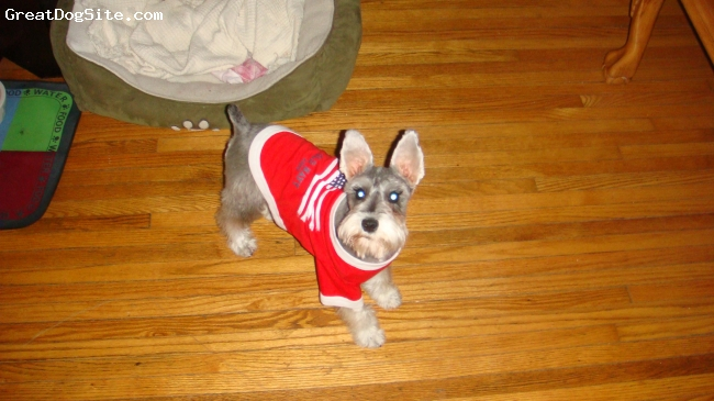 Miniature Schnauzer, 6 months, salt & pepper, Sporting her Old Navy T - ready for the 4th of July!