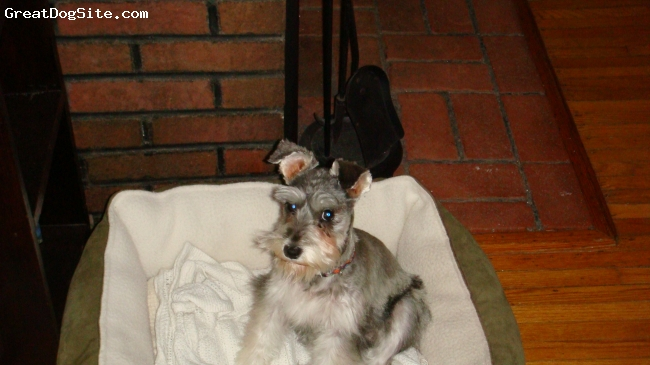 Miniature Schnauzer, 6 months, salt and pepper, Ilook mad but I really do love my bed