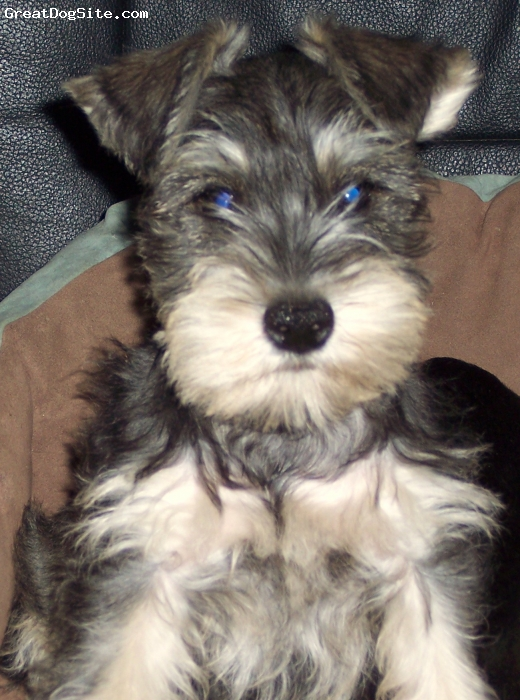 Miniature Schnauzer, 10 Weeks, Black & Silver, Currently 5 lbs @ 9 . 5 weeks old Born 3/7/09 very smart, already paper trained;