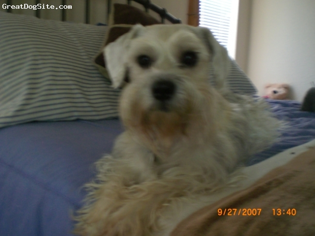 "Miniature Schnauzer, 9, Blond, He is VERY smart and can say ""I want one"" and ""mama"" and mumbles other words that we can't make out.  He seriously tries to talk.  He can be viewed on Youtube/Texasbubba2 saying ""I want one"".  He has been the best dog.  He wants so hard to please and hold his own up to our Wire-haired Fox Terrier.  Jack is very popular in his world and ours.  He survived a fatal car accident and hasn't been as active as before.  He is, however still a terrific companion."