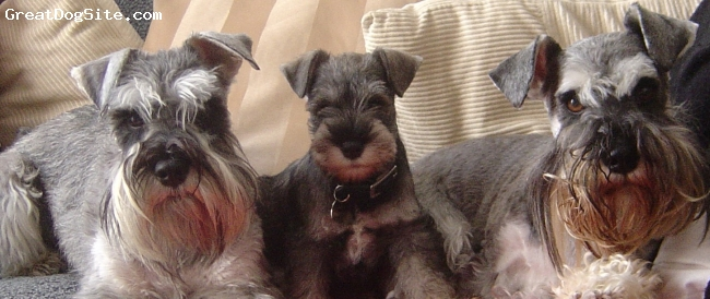 Miniature Schnauzer, 2.5YEARS, 5 MONTHS & , SALT & PEPPER, ERIC AND SYDNEY ARE MY TWO SHOW DOGS AND ALFI IS MY ADORABLE, LOVEABLE PET - HE IS THE BEST SCHNAUZER EVER.  I LOVE HIM TO BITS