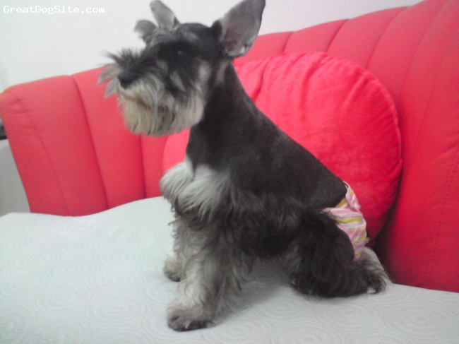 Miniature Schnauzer, 1, PEPPER/BLACK, Look at my pinky pants, am i cute...my first period when i am 7 months old.