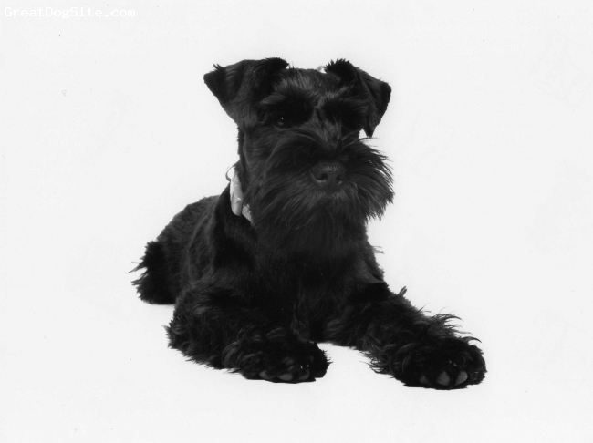 Miniature Schnauzer, 8 months, black, full of fun always wants to please