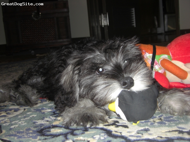 Miniature Schnauzer, 3 months, Black, He definately loves his chew toy.  I have to hide it sometimes to get some piece and quite.