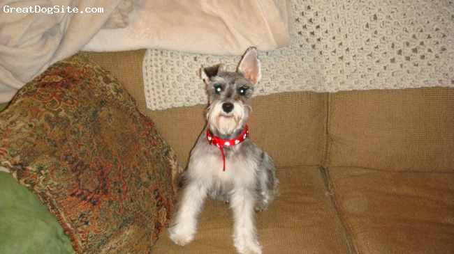 Miniature Schnauzer, 7 months, salt & pepper, Sitting pretty on the couch.