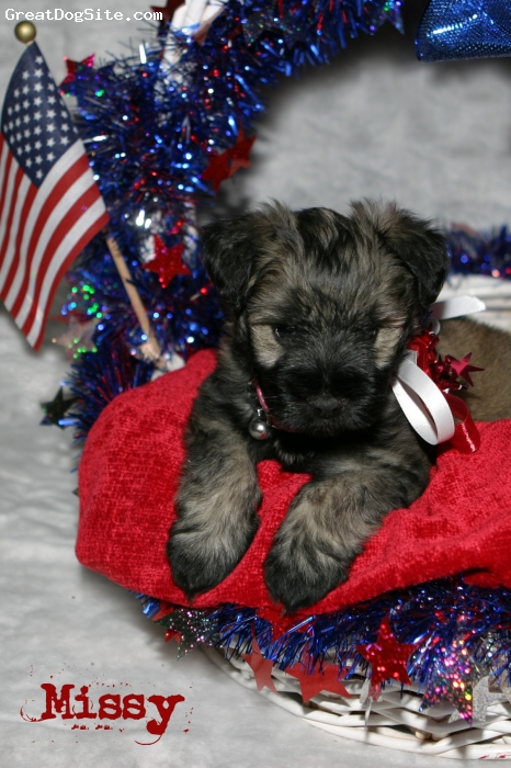 Miniature Schnauzer, 7 weeks old, salt & pepper &, Fourth of July picture.  She is a sweet timid little girl.