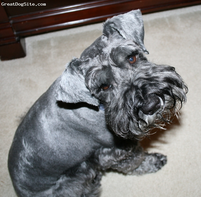 Miniature Schnauzer, 5 yrs, black & silver, great family dog, good with other dogs, likes to play, very smart