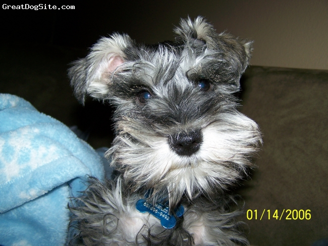 Miniature Schnauzer, 3 months, salt and pepper, Bruno is a mini schnauzer with lots of personality. He is very energetic and a very affectionate dog.