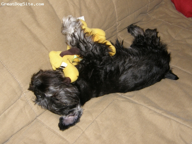 Miniature Schnauzer, 3months, Salt&Pepper, Falling asleep with Pluto