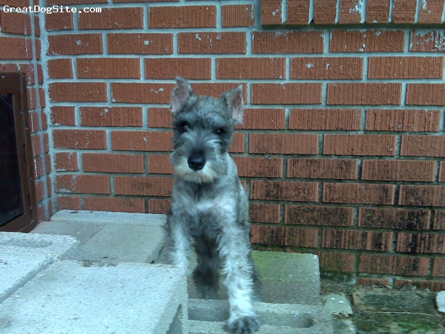 Miniature Schnauzer, 13 weeks old, salt and pepper, Very loving and very smart.   Karmin at her young age can already sit, lay down, roll over, and shake on commands.  She is still in her biting stages so our other schnauzer who is 4 years old deals with that most of the time but she loves the little puppy.