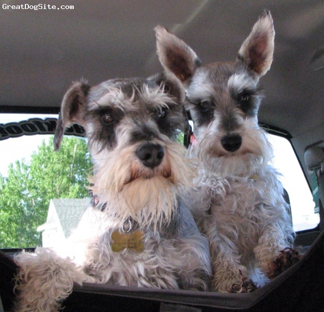 Miniature Schnauzer, 3 and 4, salt and pepper, male is the larger one