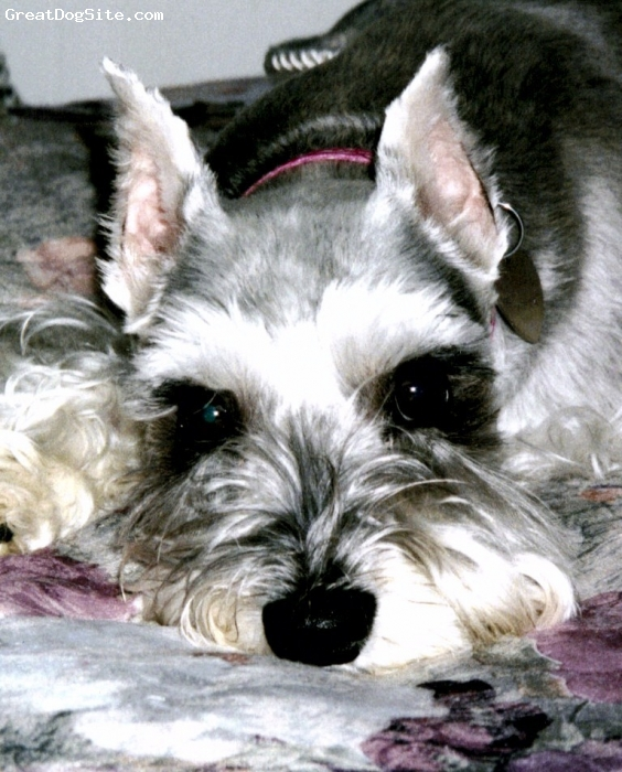 Miniature Schnauzer, 7, SLIVER, LAYING ON THE BED RESTING .