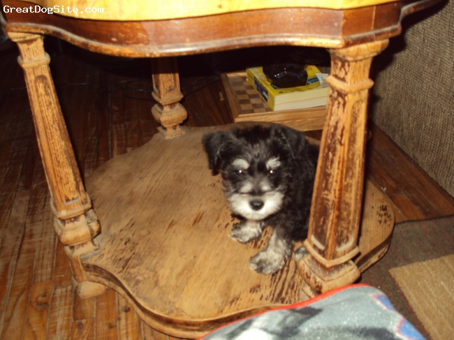 Miniature Schnauzer, 10 wks, black and silver, She loves to lay on the wood under the end table. She is our baby girl!!!