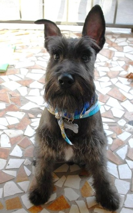 Miniature Schnauzer, 5 months, black, There he is with his first groom. Is funny that he has straight un-cropped ears.